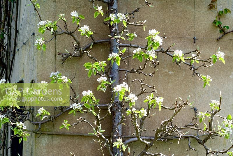 Espalier Pear tree with blossom against wall