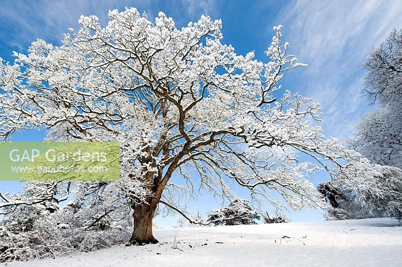 Quercus - Snow covered Oak tree against blue sky