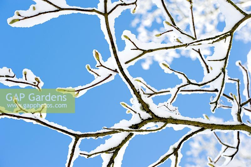 Sycamore buds and snow covered branches against blue sky