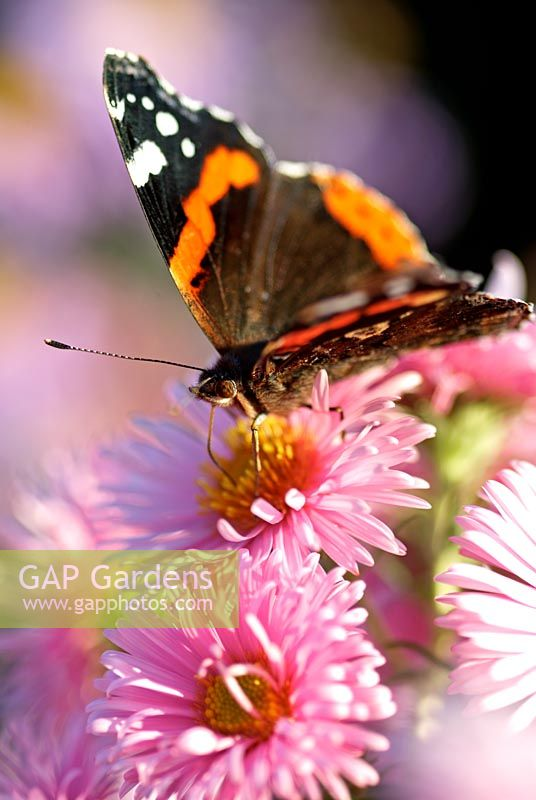 Red Admiral Butterfly on Aster flowers