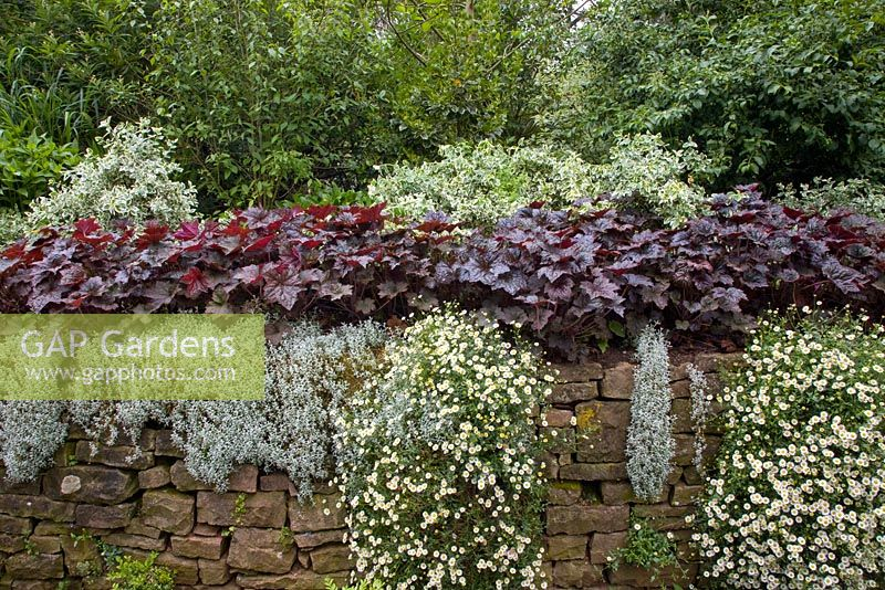 White Variegated Euonymus, Purple Leaved Heuchera, Cerastium Tomentosum And  Erigeron Mucronatus On The Wall