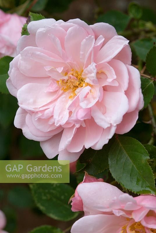Rosa 'Albertine' AGM - Rambler, fully double, sweetly scented, salmon pink flowers.