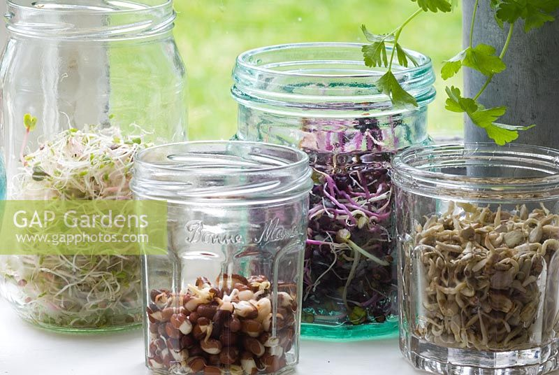 Different seeds, beans and pulses sprouting in jam jars on windowsill
