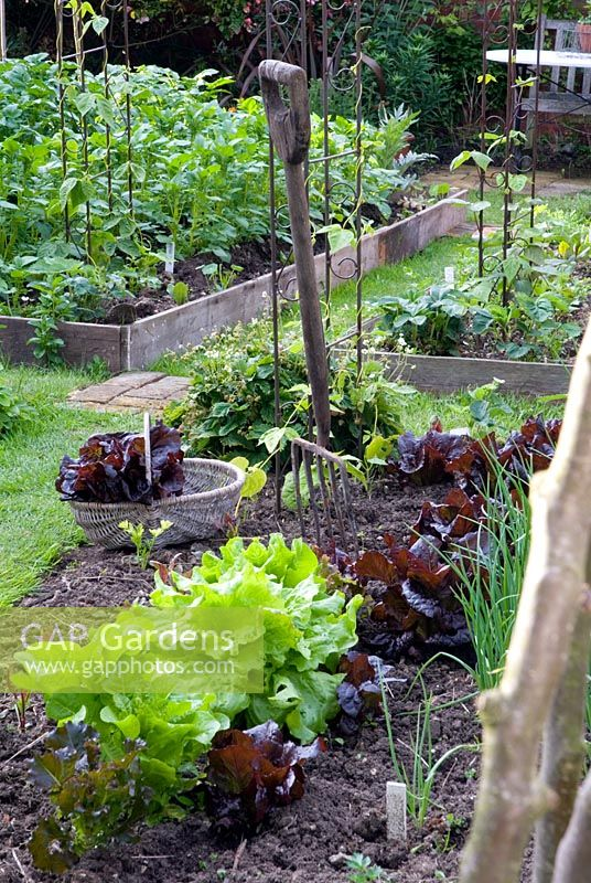 Salad bed in vegetable garden with Lettuce red cos 'Nymans' in basket