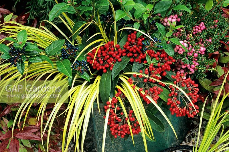 Long lasting berries contrasted with Acorus 'Ogon' in a frost proof, blue glazed container. Viburnum tinus, Skimmia reevesiana and pink Gaultheria mucronata give colour from autumn through to spring.