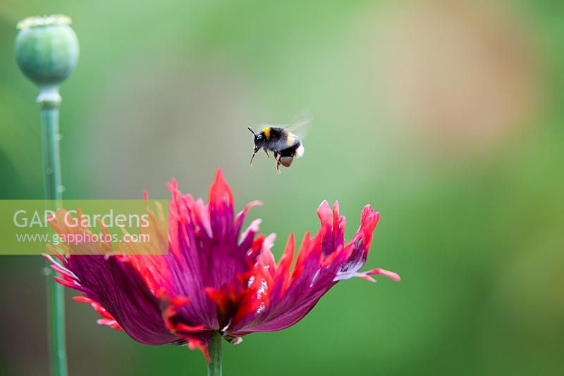 Bumble bee hovering above Poppy