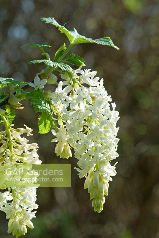 Gap gardens ribes sanguineum white icicle syn ubric agm ribes sanguineum white icicle syn ubric agm flowering currant mightylinksfo