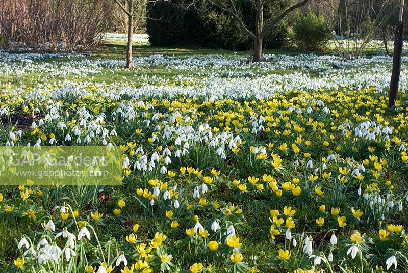 Galanthus nivalis - Carpet of Snowdrops and Eranthis hyemalis - Winter Aconites in the woods at Chippenham Park, Cambridgeshire. NGS Open Day for Snowdrops 10 February