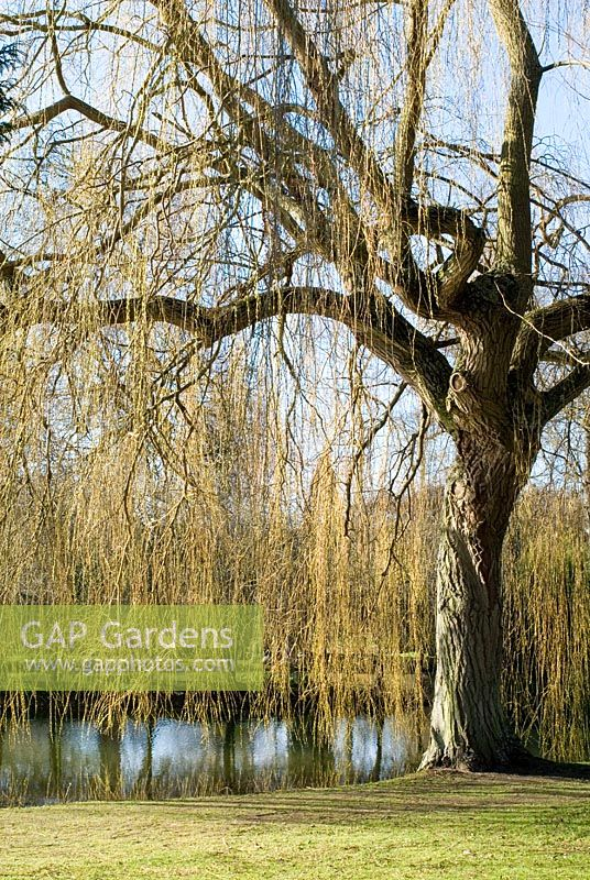 Salix Large Weeping Willow Tree In Winter By The Water At Chippenham Park Cambridgeshire
