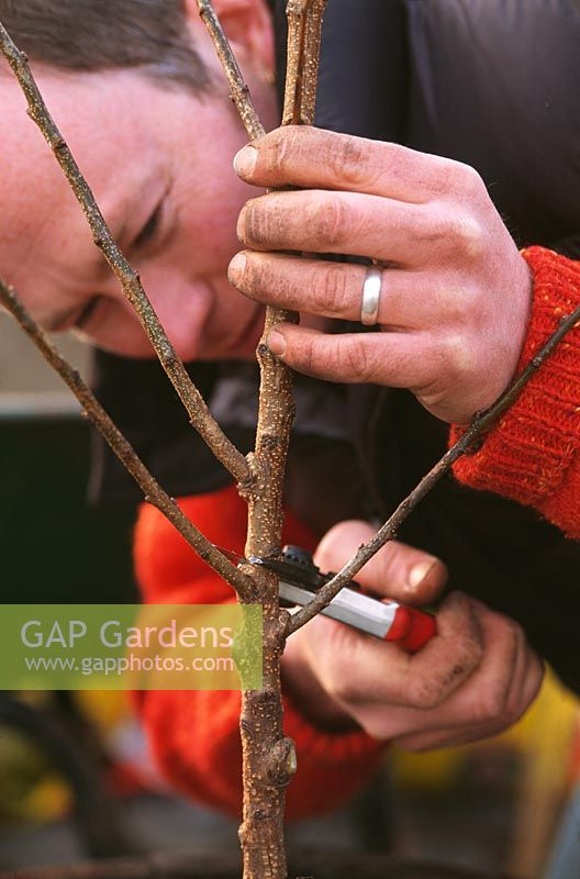 Man pruning pruning the main stem of a fruit tree back to strong side shoots 