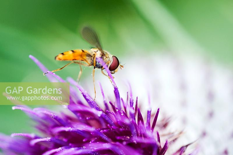 Hoverfly on Onopordum acanthium - Cotton thistle