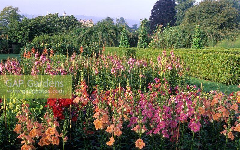 Cutting Flower Garden With Antirrhinum U0027Trumpet Serenade Mixedu0027. Grass Path  With View Though