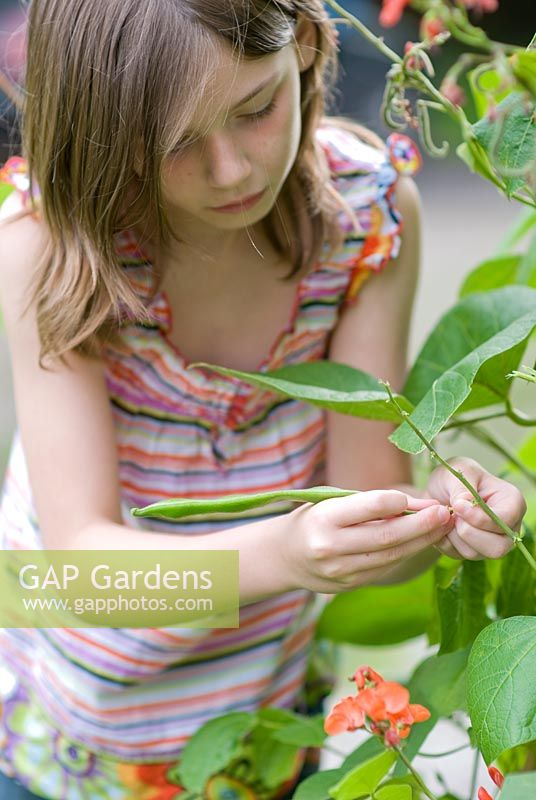 Nine year old girl picking a runner bean on an english allotment