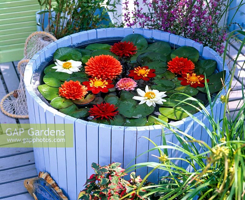 Finished wooden container pond with Nymphaea and Dahlia flowers floating in water