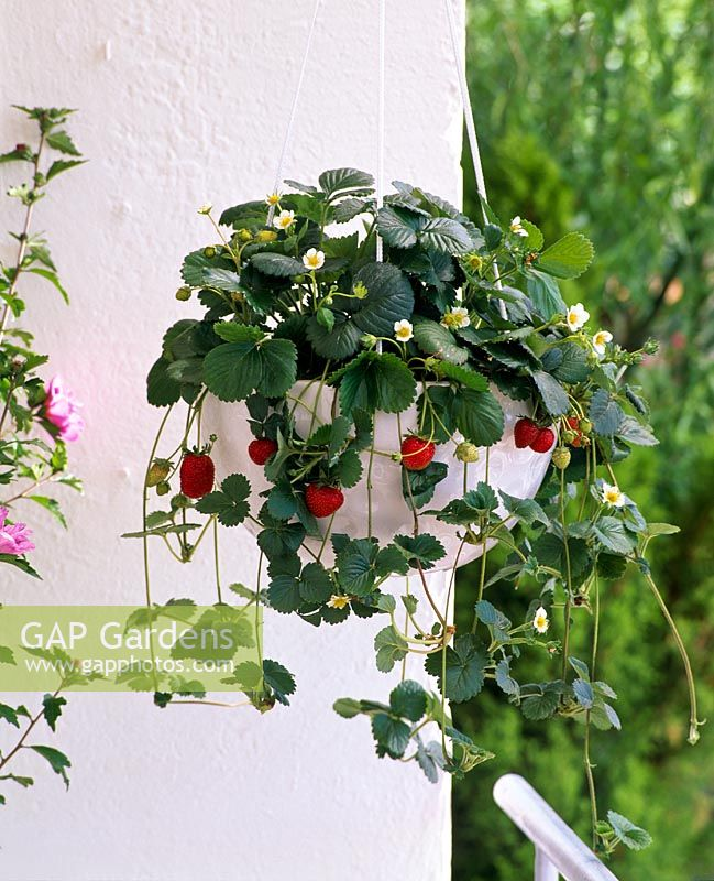 Hanging container of alpine strawberries on balcony