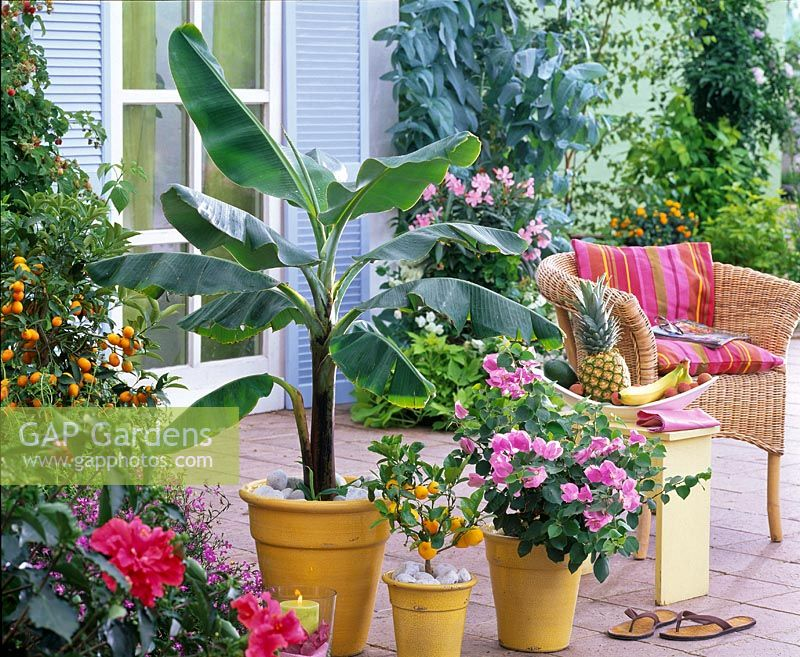 Musa sikkimensis, Bougainvillea, Citrofortunella microcarpa, Fortunella japonica and Hibiscus in pots on terrace with wicker chair