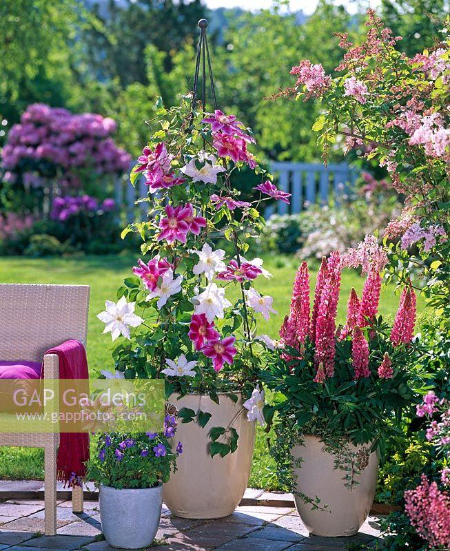 gap gardens clematis hybriden 39 dr ruppel 39 clematis. Black Bedroom Furniture Sets. Home Design Ideas