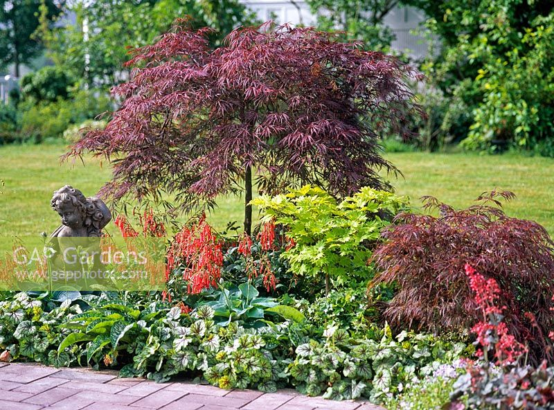 gap gardens mixed bed of acer palmatum 39 dissectum garnet 39 acer japonicum 39 aureum 39 phygelius. Black Bedroom Furniture Sets. Home Design Ideas