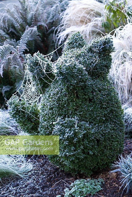 Hoar frost on cobweb covering Buxus sempervirens - box clipped into the shape of a teddy bear