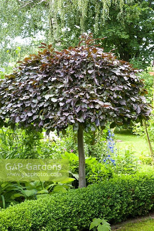 gap gardens fagus sylvatica 39 purpurea pendula 39 purple. Black Bedroom Furniture Sets. Home Design Ideas