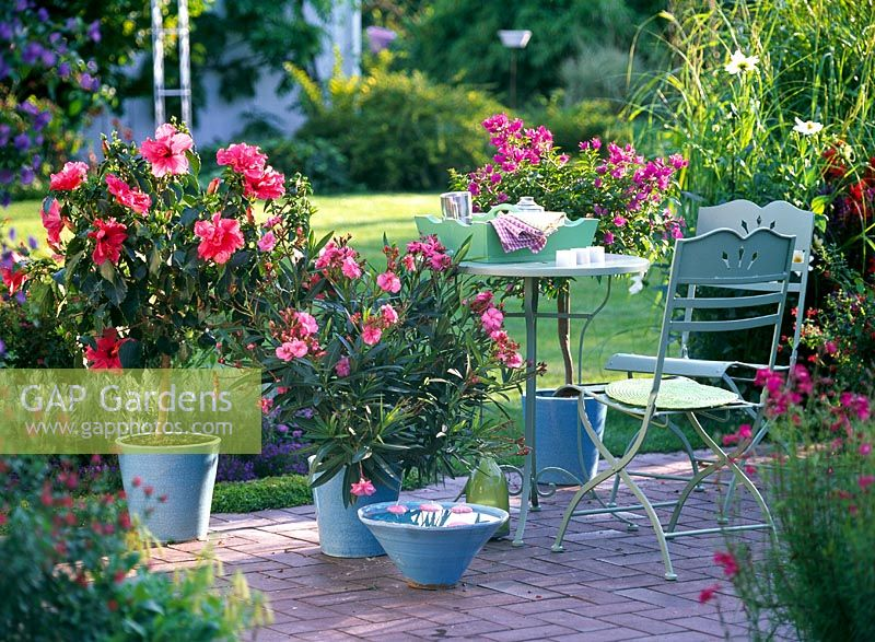 Captivating Hibiscus Rosa Sinensis, Nerium Oleander And Bougainvillea In Blue Pots On  Patio With Table