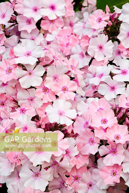 gap gardens phlox rosa pastell image no 0112130 photo by elke borkowski. Black Bedroom Furniture Sets. Home Design Ideas