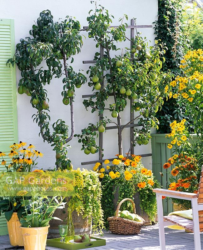 Container plantings on balcony garden - Pyrus underplanted with Lysimachia nummularia, Tagetes, Rudbeckia fulgida and Rudbeckia hirta