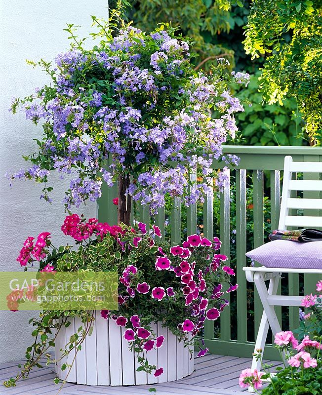 Balcony planter with Plumbago underplanted with Petunia, Plectranthus and Pelargonium