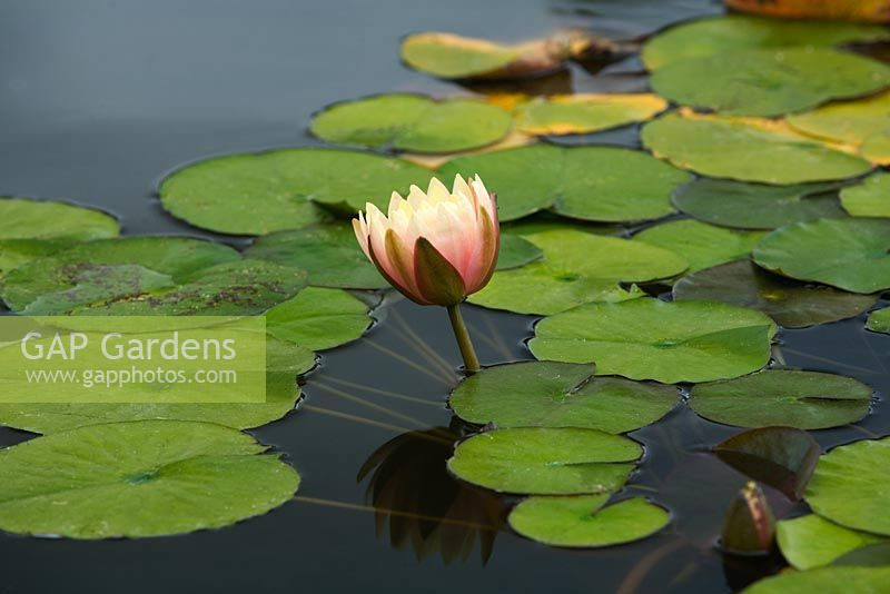 Nymphaea - Water lily bud opening