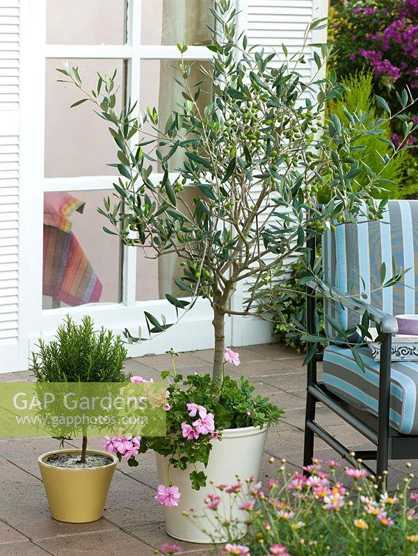 Olea Europaea Olive Tree In Container Underplanted With Pelargonium Peltatum Beside Pot Of Rosmarinus On