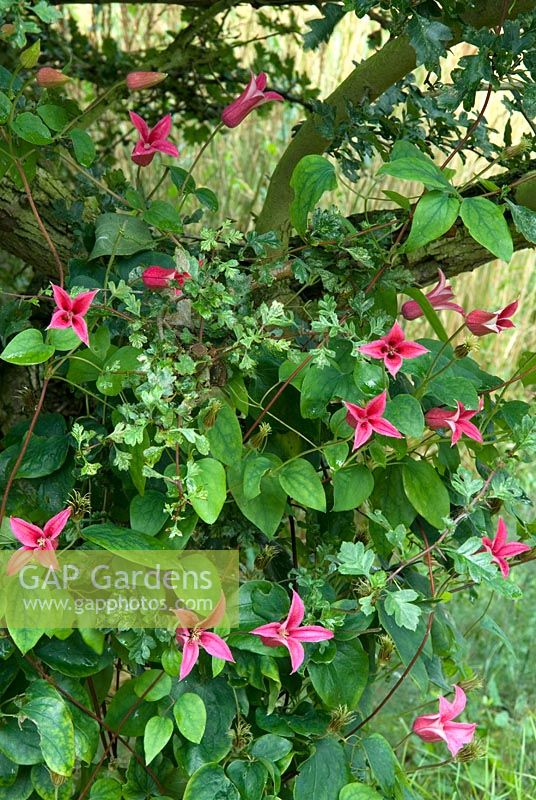 gap gardens clematis 39 princess diana 39 climbing in. Black Bedroom Furniture Sets. Home Design Ideas