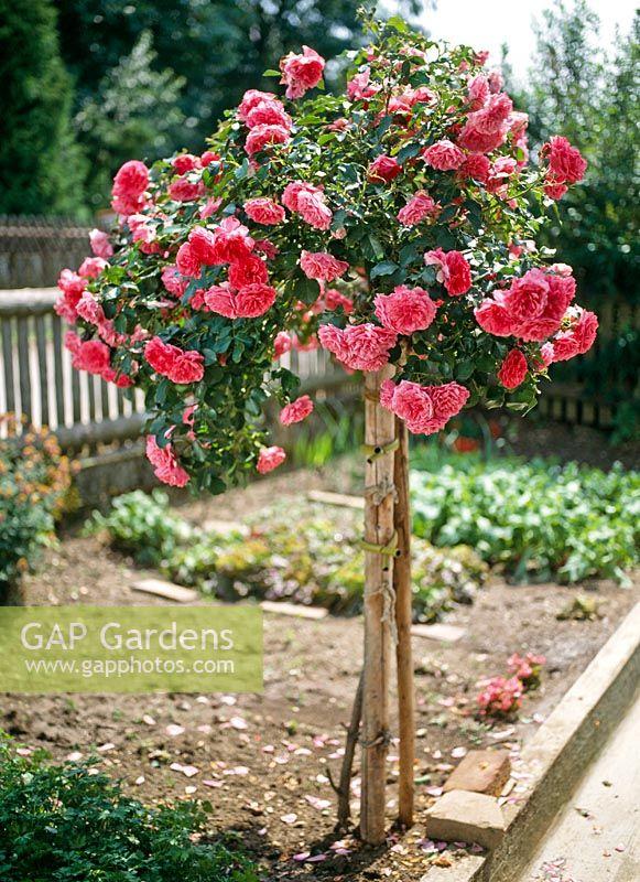 gap gardens rosa 39 rosarium uetersen 39 trained as a. Black Bedroom Furniture Sets. Home Design Ideas