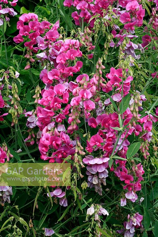 Lathyrus latifolius - Perennial Pea showing flower spikes, fading blooms and seed pods