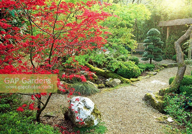 Cloud Pruned Ilex Crenata Framed By New Red Foliage Of Acer Palmatum Deshojo