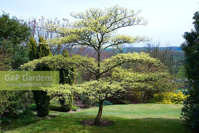 Gap gardens cornus controversa 39 variegata 39 image no for Small to medium trees for garden
