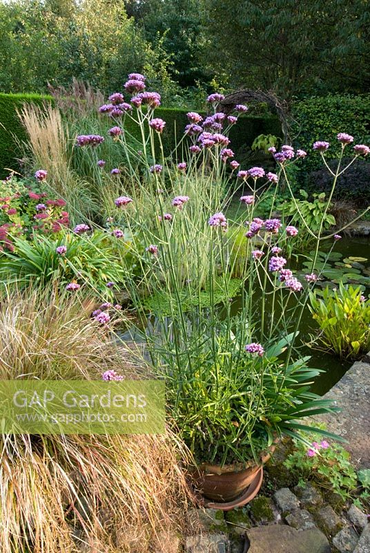 Gap gardens mixed border with verbena bonariensis and for Small ornamental grasses for borders
