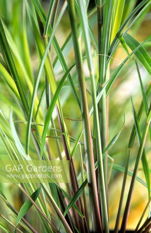 Cymbopogon citratus - Lemon Grass