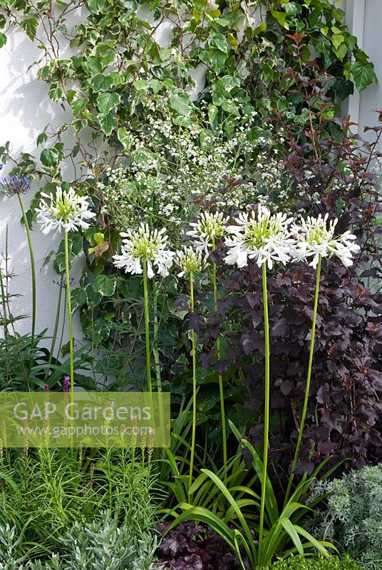 Agapanthus africanus albus with Gypsophylla and ivy in the background