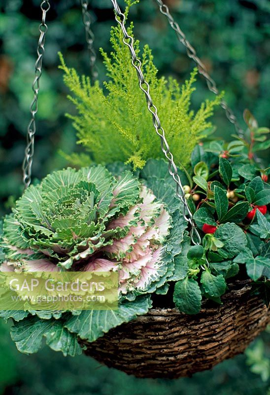 Ornamental cabbage, dwarf conifer, Gaultheria procumbens, variegated heather, pansy and variegated ivy in a wicker hanging basket