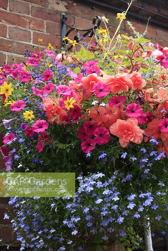 Hanging basket with trailing Lobelia, pendulous Begonias, Petunias and yellow Bidens ferulifolia