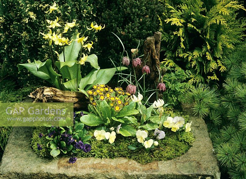 Stone sink with woodland style planting for shade. Erythronium 'Pagoda' at the rear, Erythronium californicum 'White Beauty', gold laced Primula polyanthus, Fritillaria meleagris and Primula vulgaris 'Miss Indigo' with Violas