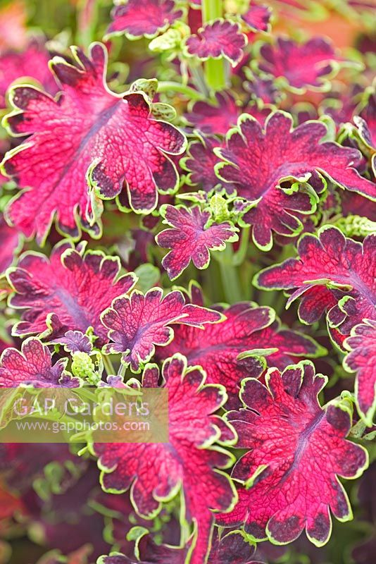 Coleus 'Carefree Mix'