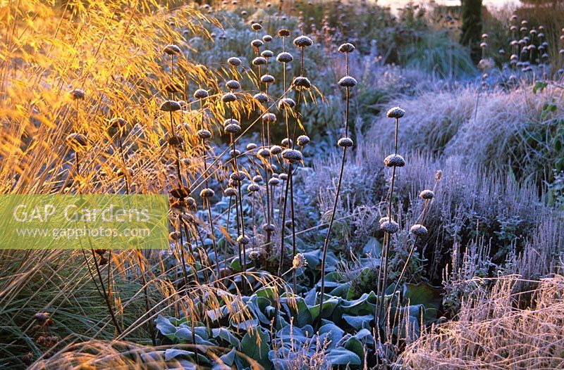 Frost on Phlomis, Stipa gigantea and other ornamental grasses at Broughton Grange, Oxfordshire