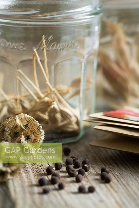 Sweet pea seed pods, Scabious 'Paper Moon' seed heads and Lychnis seed heads collected in old jam jars