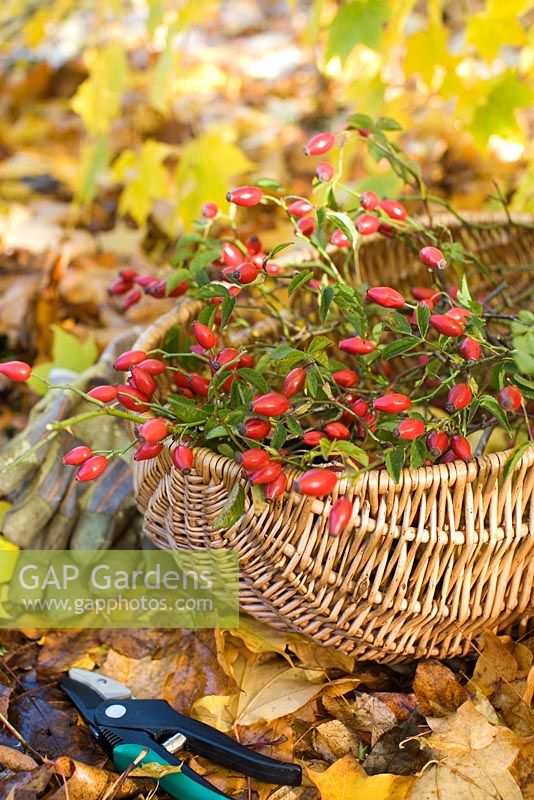 Rose hips from wild roses in wicker basket used for flower arrangement
