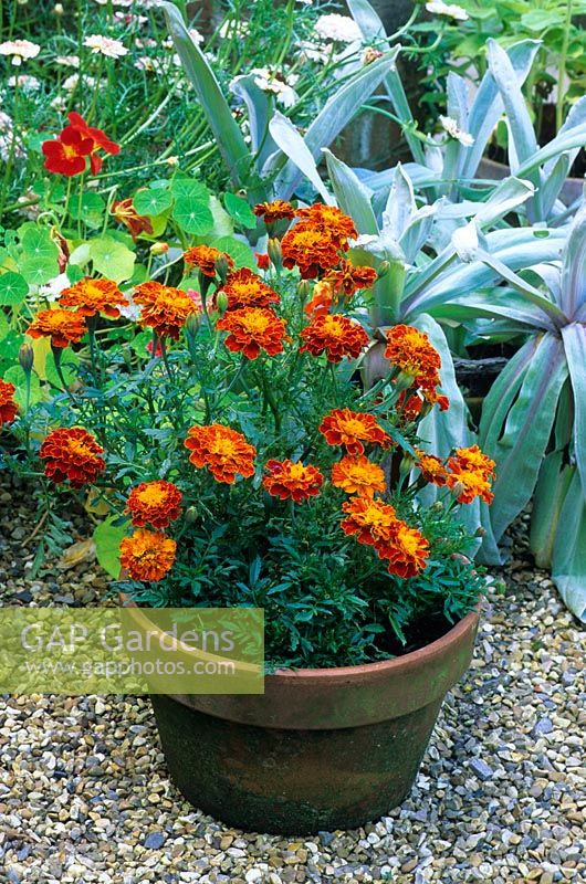 Tagetes - French marigolds growing in a container in August designed by Alan Titchmarsh at Barleywood, Hampshire.