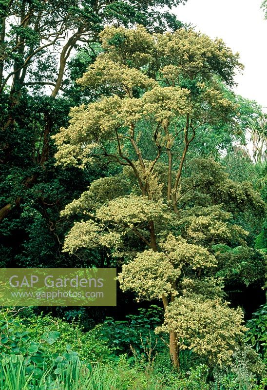 GAP Gardens - Myrtus luna \'Glanleam Gold\' - Image No: 0119144 ...