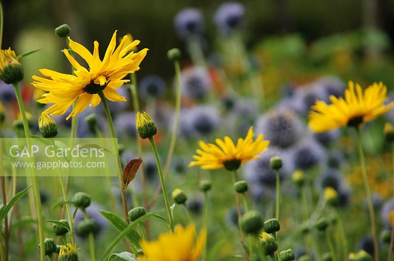 Helianthus 'Monarch' with Echinops ritro in background