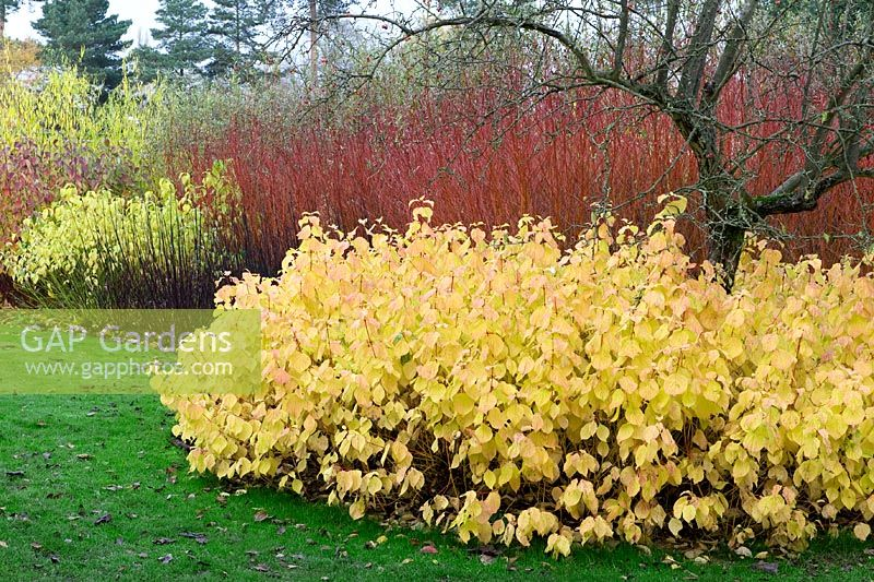 Mixed Border With Cornus Sanguinia U0027Magic Flameu0027, Cornus Alba Sabirica,  Salix Alba
