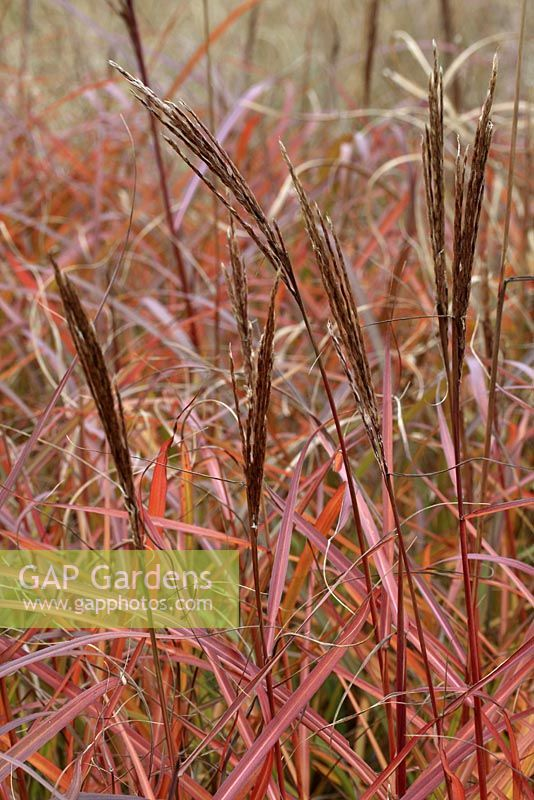 Miscanthus sinensis 'Sioux' in early autumn